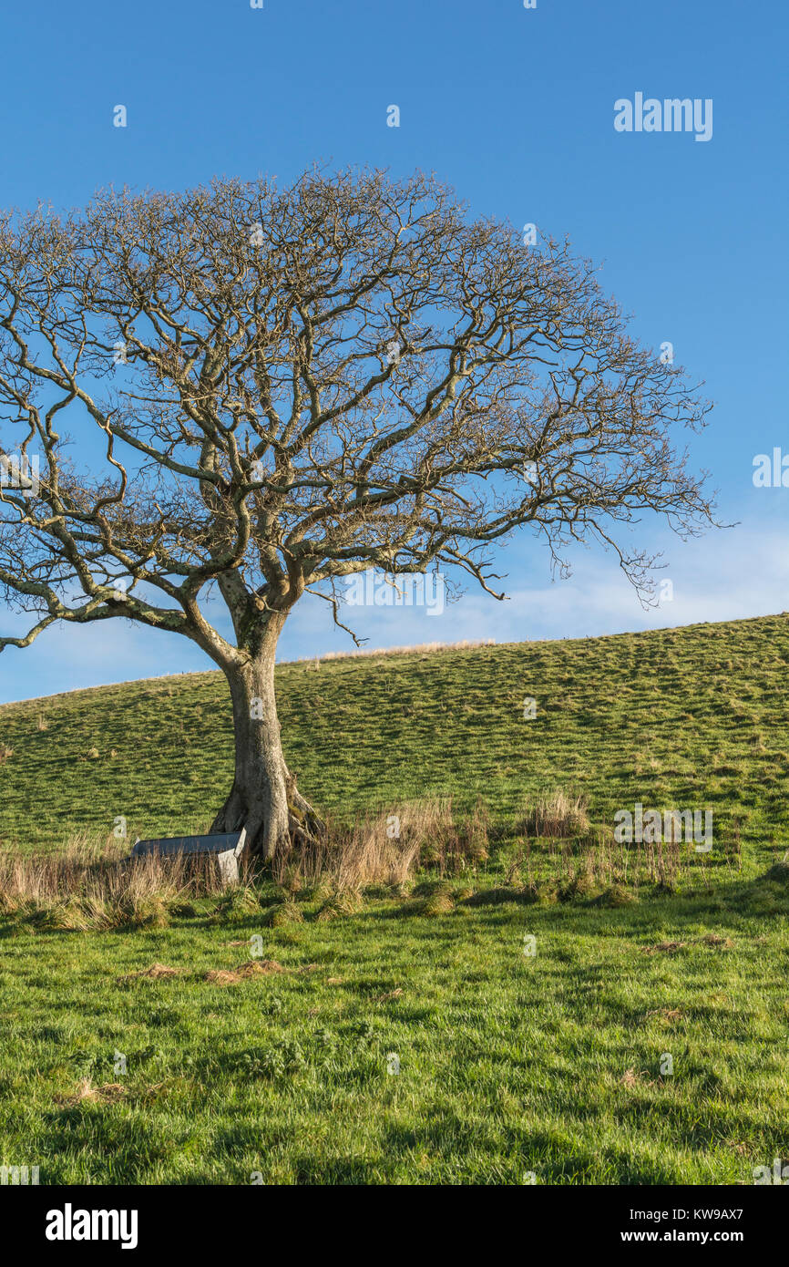 Old oak tree in the middle of a field, with animal feeder trough at its base - with copy space. - Stock Image