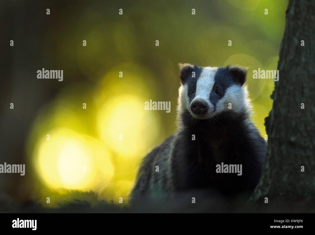 Eurasian Badger - Stock Image