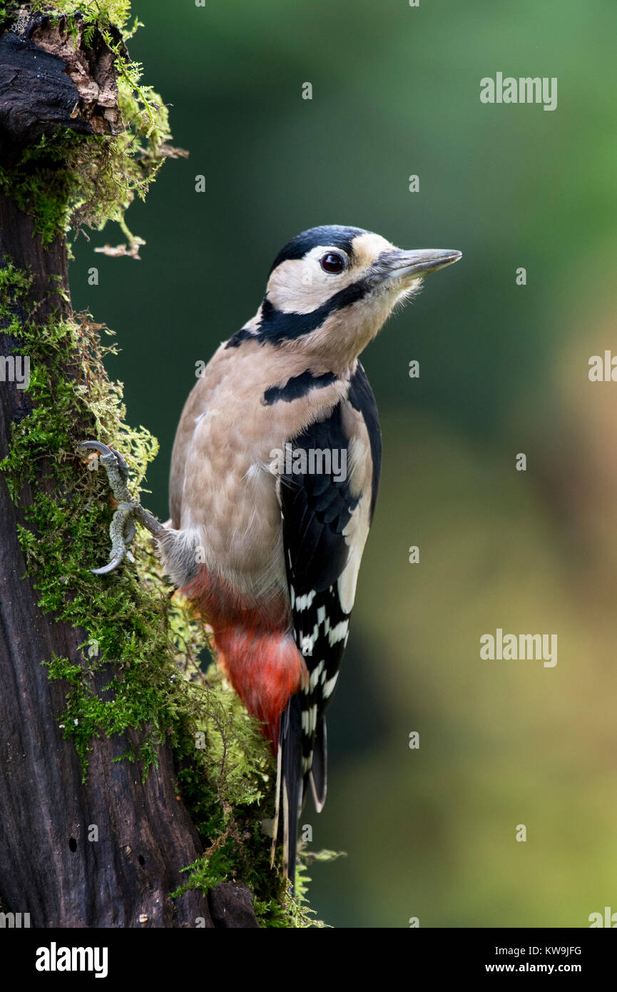 Greater-spotted Woodpecker - Stock Image