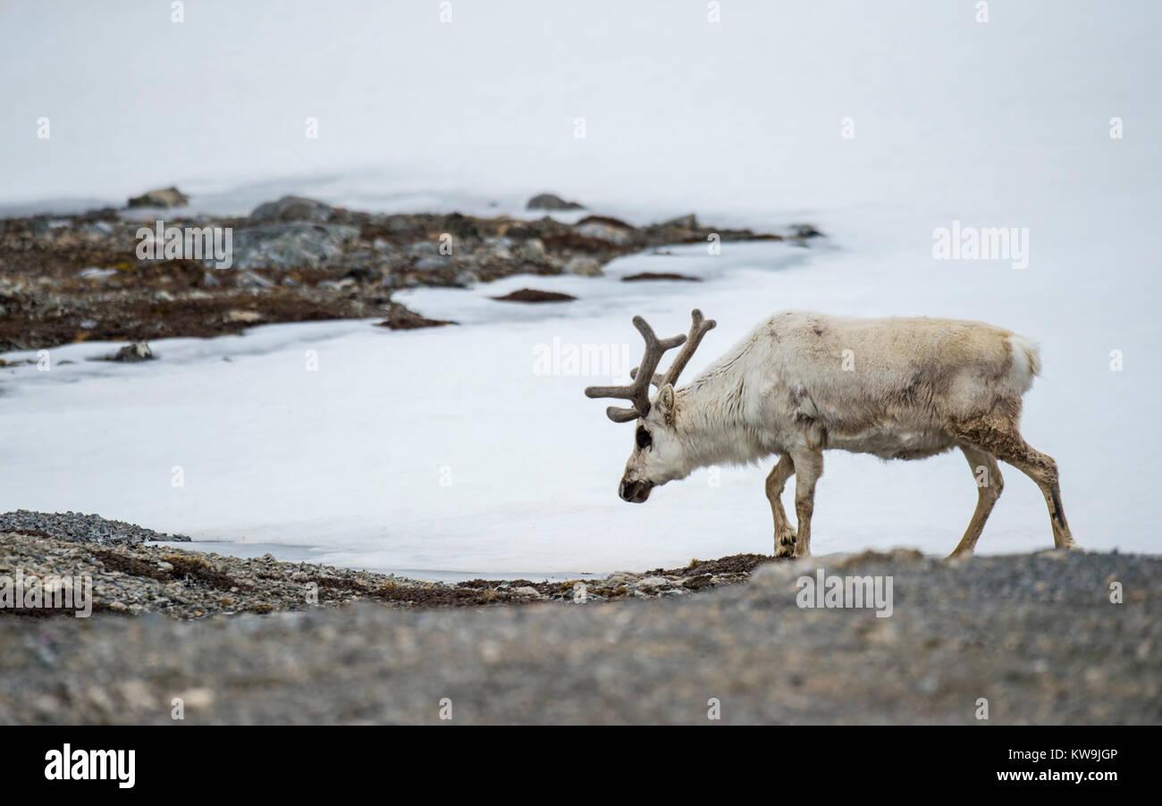 Svalbard Reindeer - Stock Image