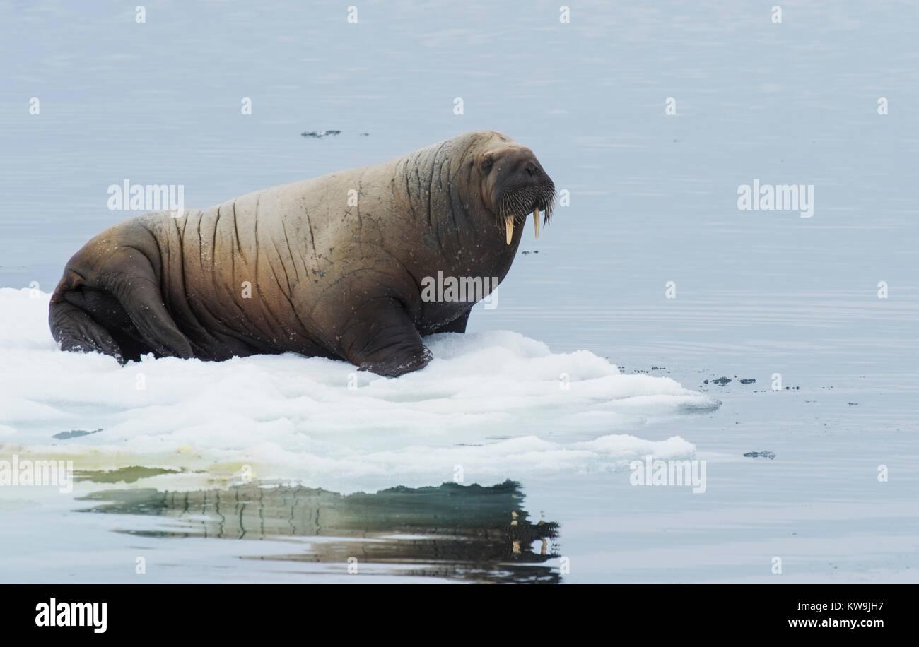 Atlantic Walrus on Ice Floe - Stock Image