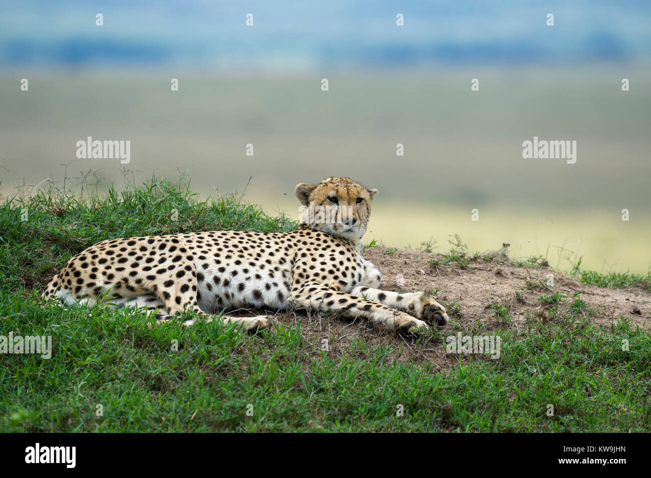 Cheetah resting on the African Savannah - Stock Image