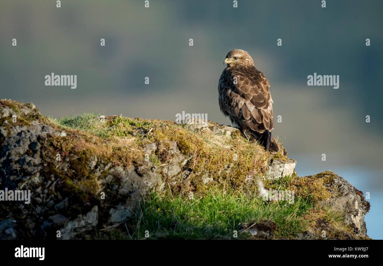 Common Buzzard - Stock Image
