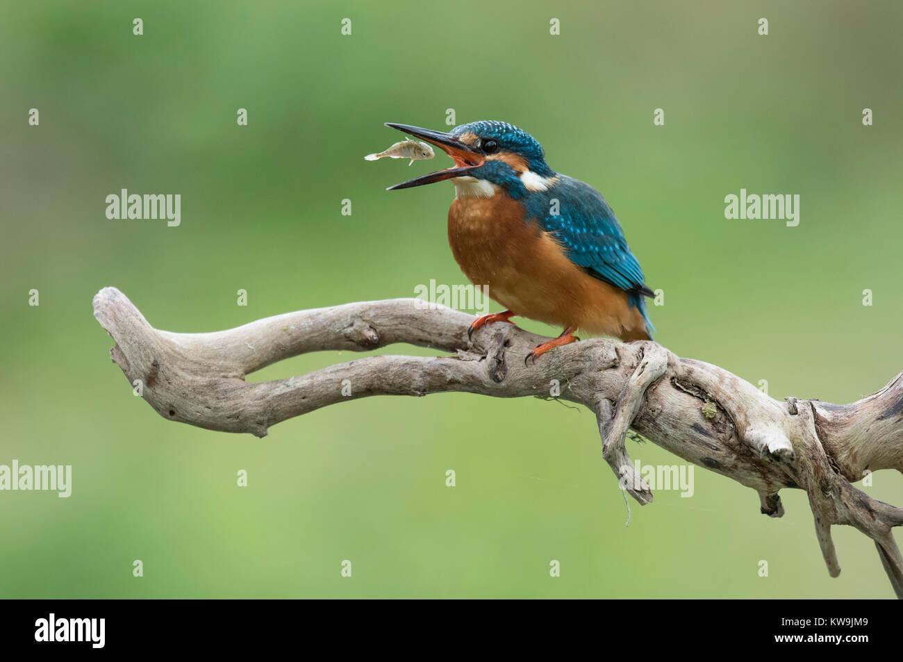 Common Kingfisher - Stock Image