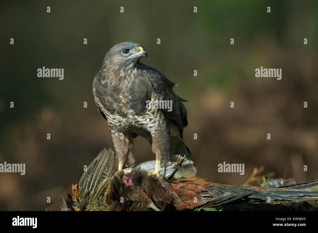 Buzzard on Pheasant - Stock Image