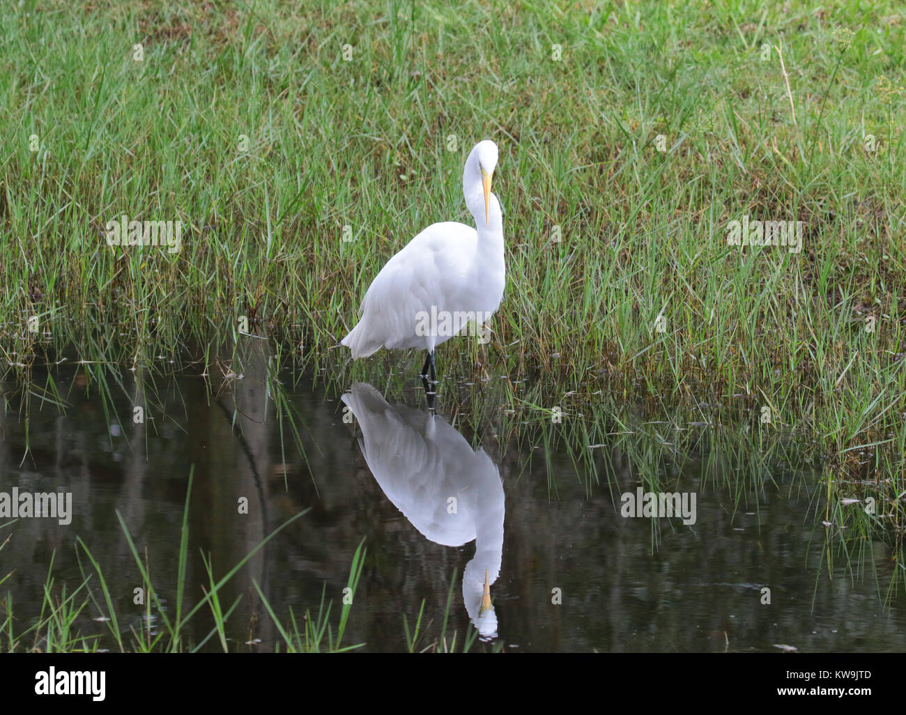 Great egret with mirror image in water reflection - Stock Image