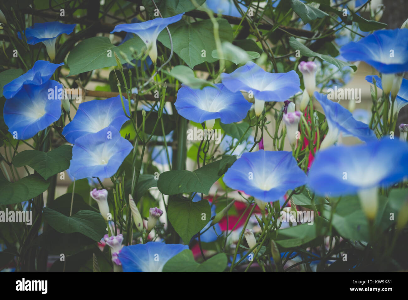 morning glory. blooming flower in garden. blue flora with vine leaves Stock Photo