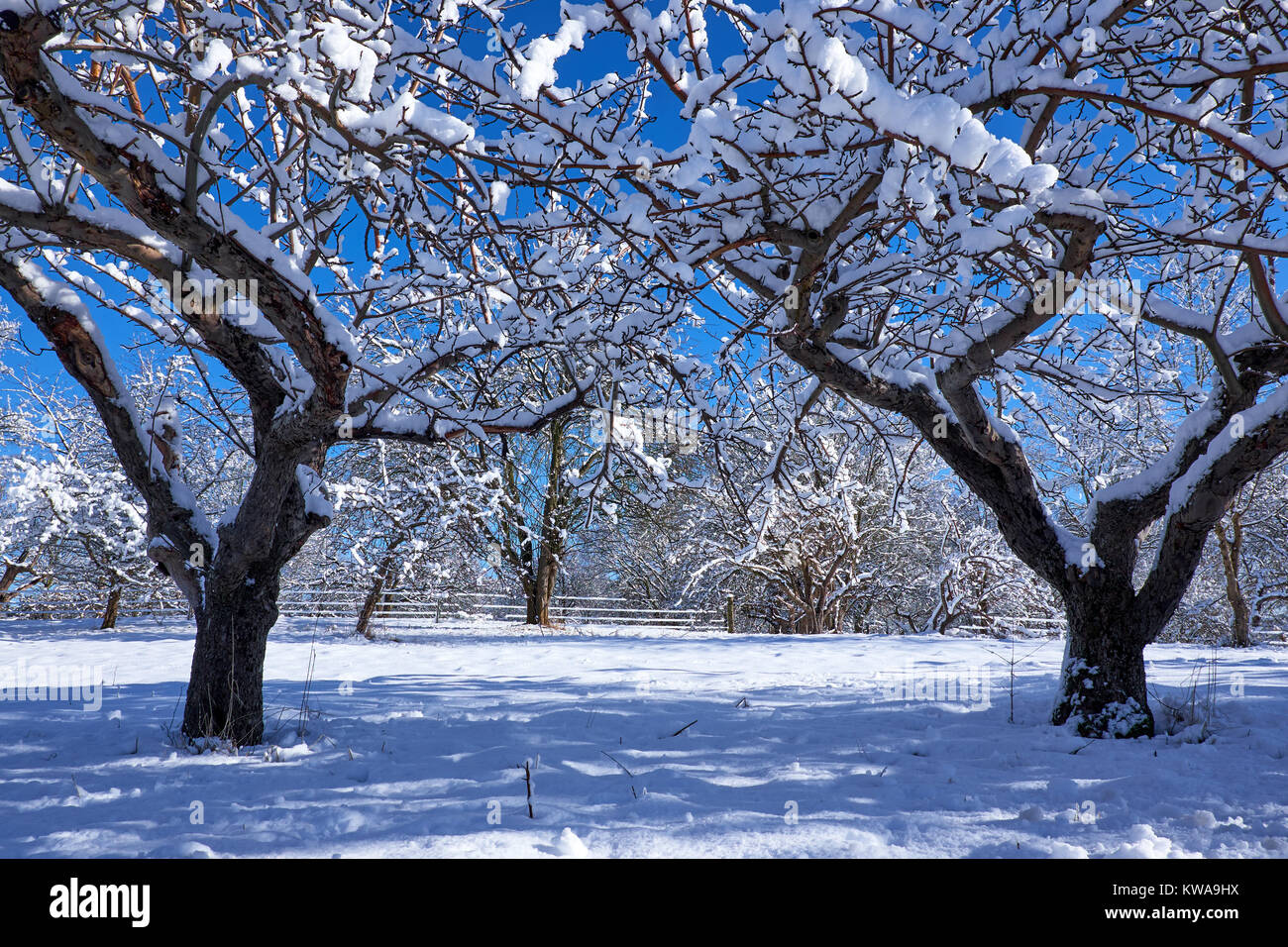 Two apple trees covered in newly fallen snow on a sunny winter day in Denmark - Stock Image
