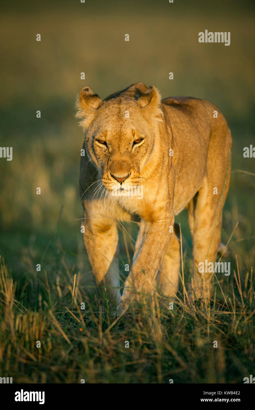 lioness at dawn - Stock Image
