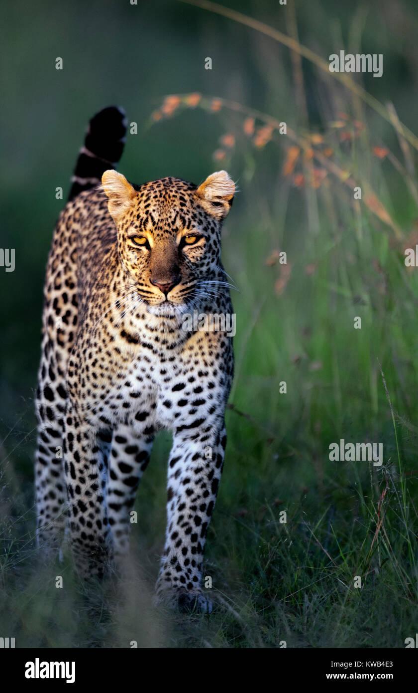Leopard at Sunrise - Stock Image