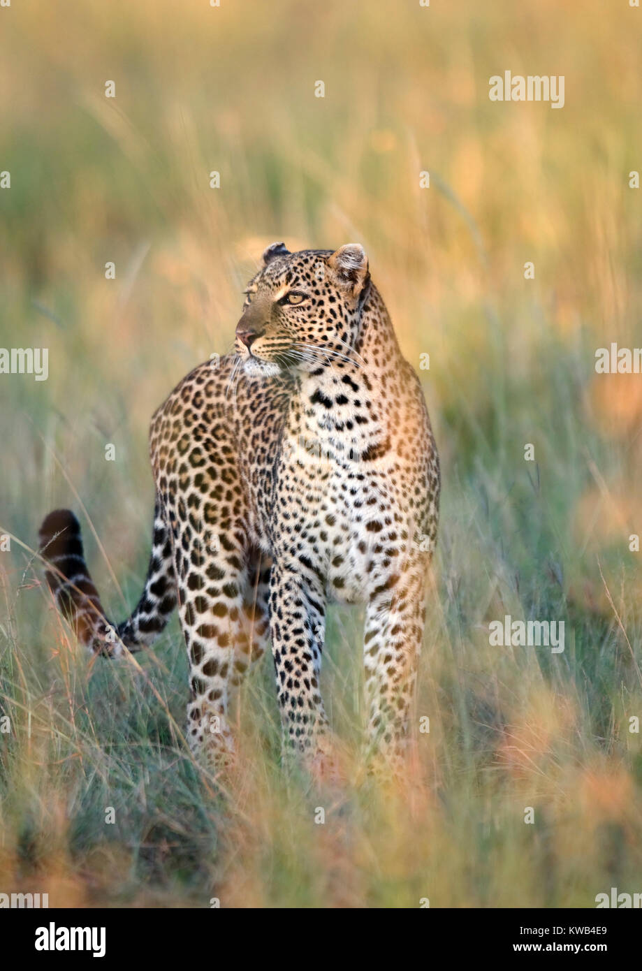 African Leopard - Stock Image