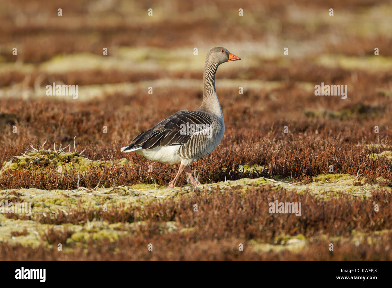 Greylag goose (Anser anser) foraging on open moor close to the lake where it roosts overnight in North York Moors - Stock Image