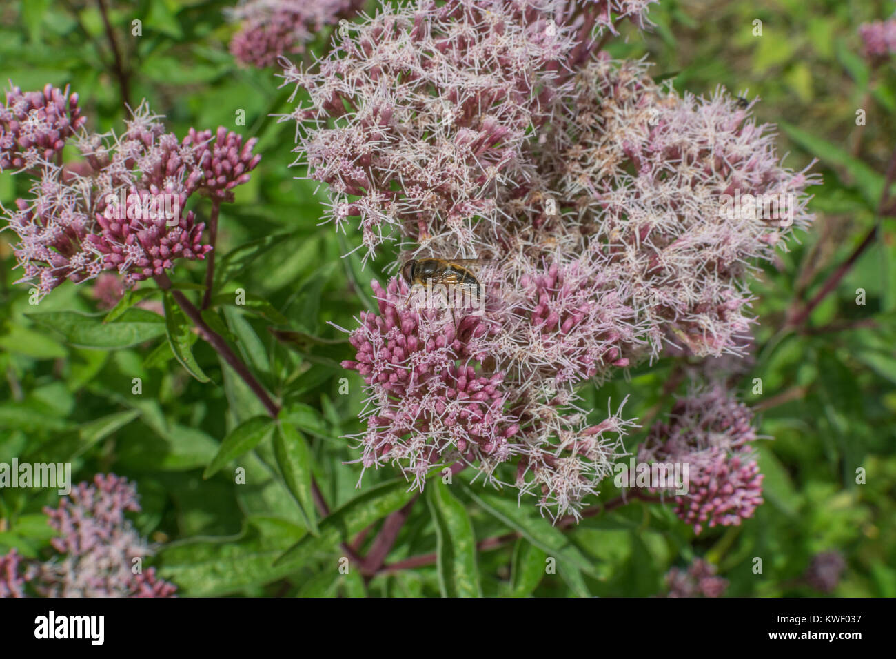 Flowering heads of Hemp Agrimony [Eupatorium cannabinum]. - Stock Image