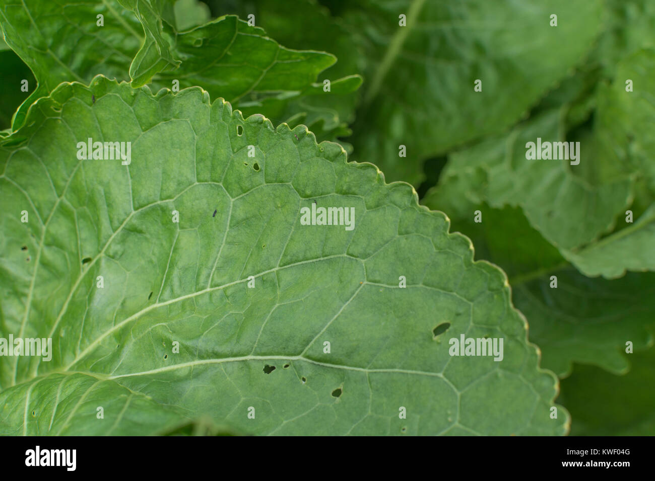 Close-up of the green leaves / foliage of Horseradish [Armoracia rusticana] - the condiment used with beef. - Stock Image