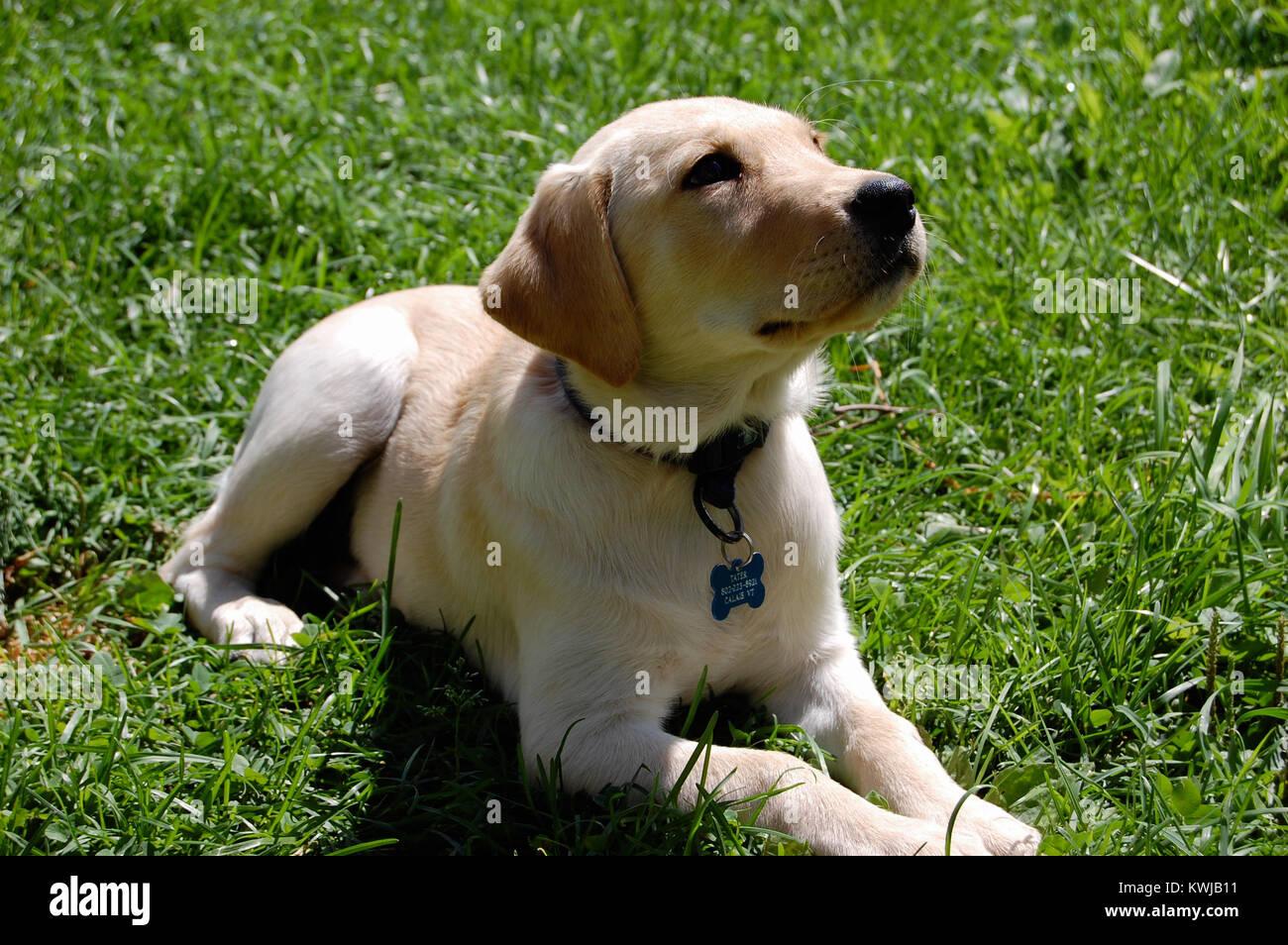 Golden Retriever Yellow Labrador Retriever Mix Puppy Stock Photo