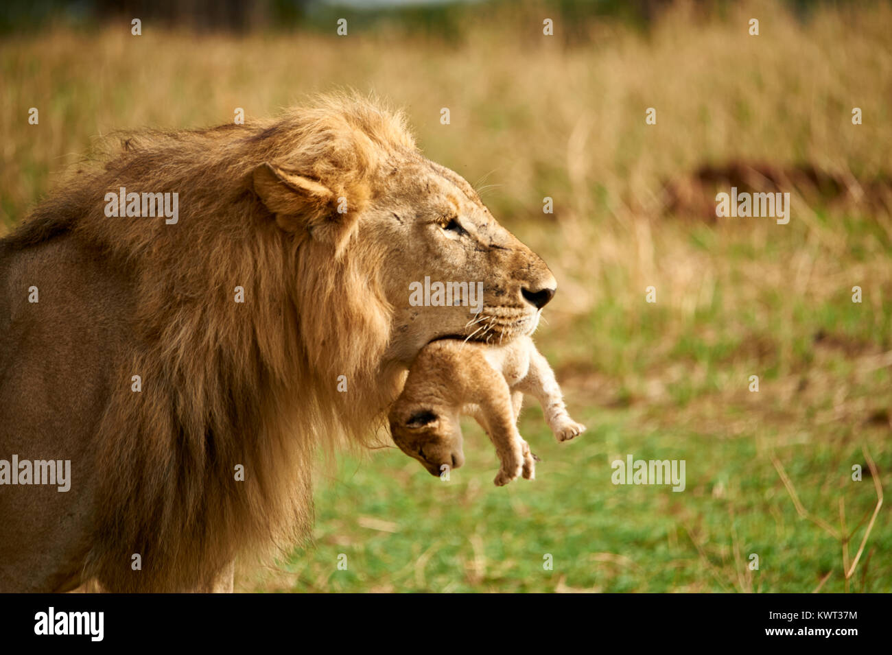 Male lion carrying one of its cubs - (rare occurrence) Stock Photo