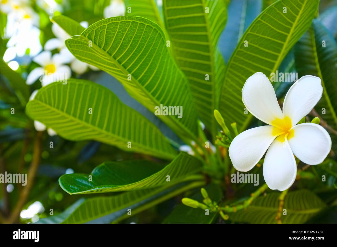 plumeria-alba-flower-on-the-tree-KWTY8C.