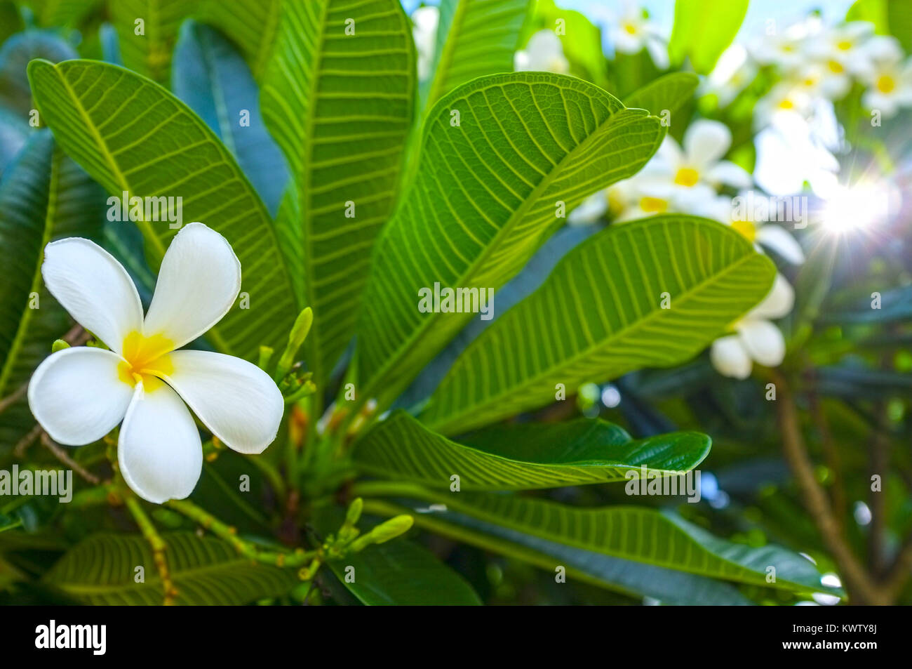 plumeria-alba-flower-on-the-tree-KWTY8J.jpg