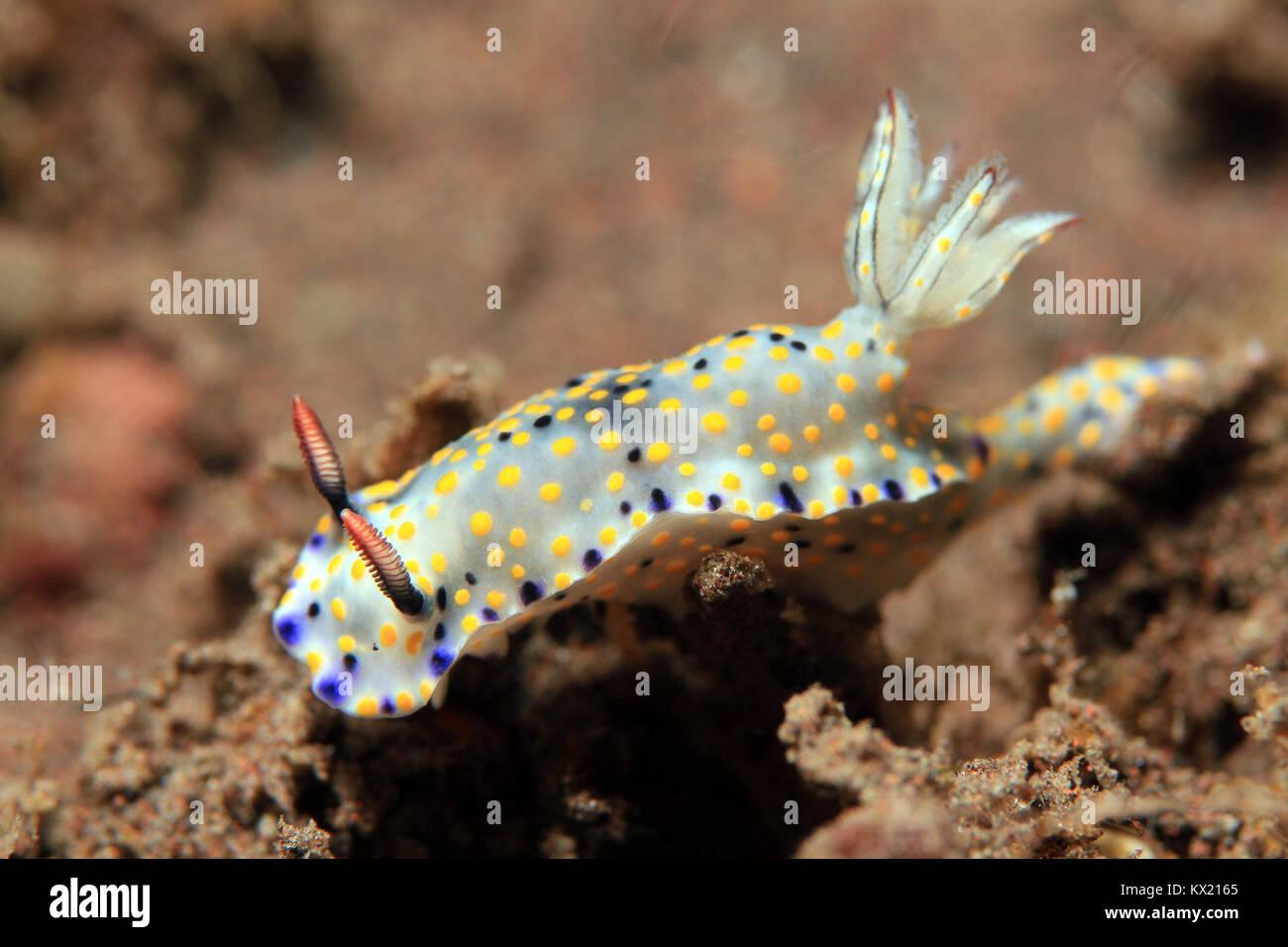 Hypselodoris Kanga Nudibranch. Seraya, Bali, Indonesia - Stock Image