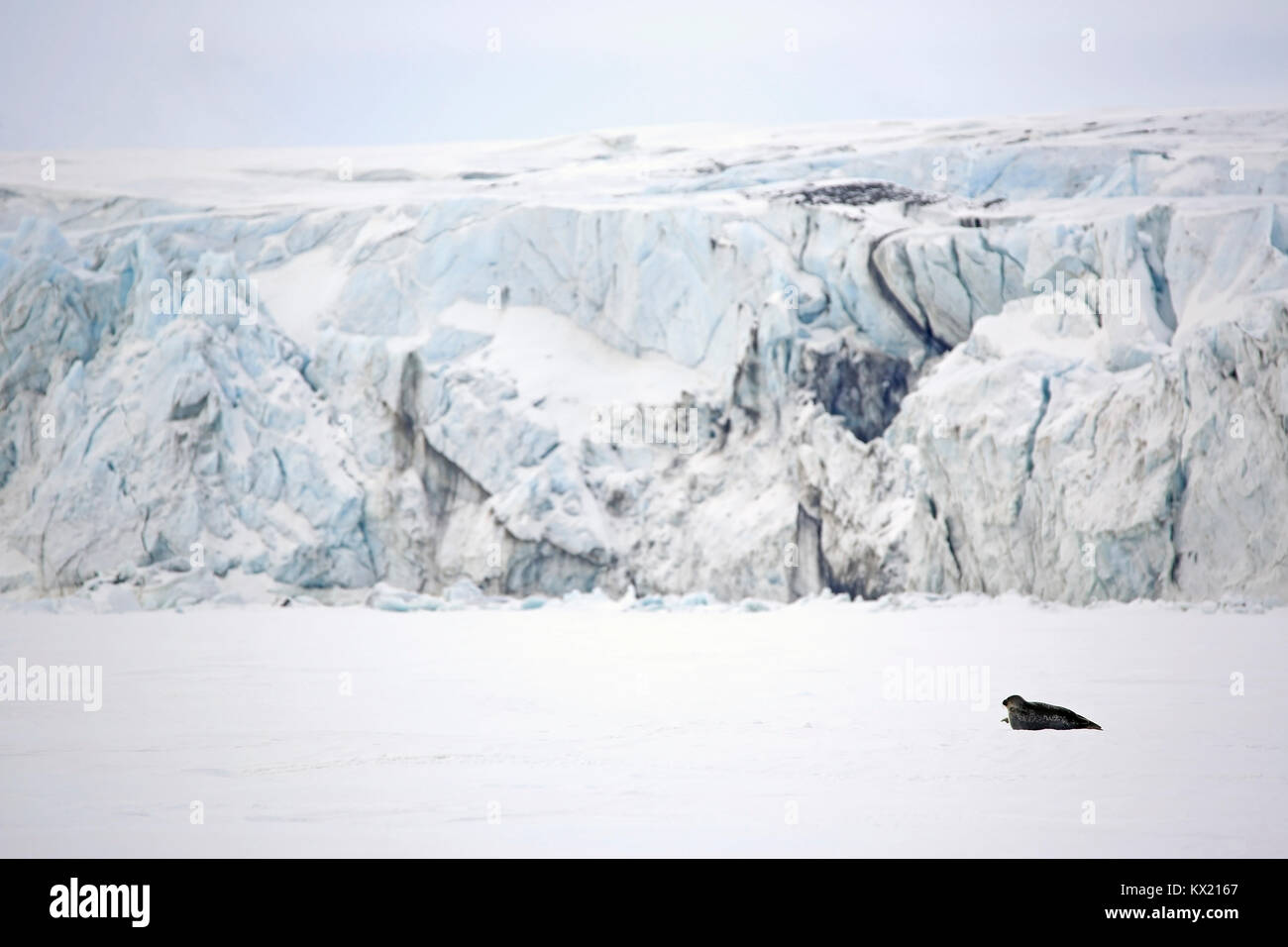 Ringed Seal in the Ice, With Tall Ice Masses in the Background. Mohnbukta, Svalbard, Norway - Stock Image