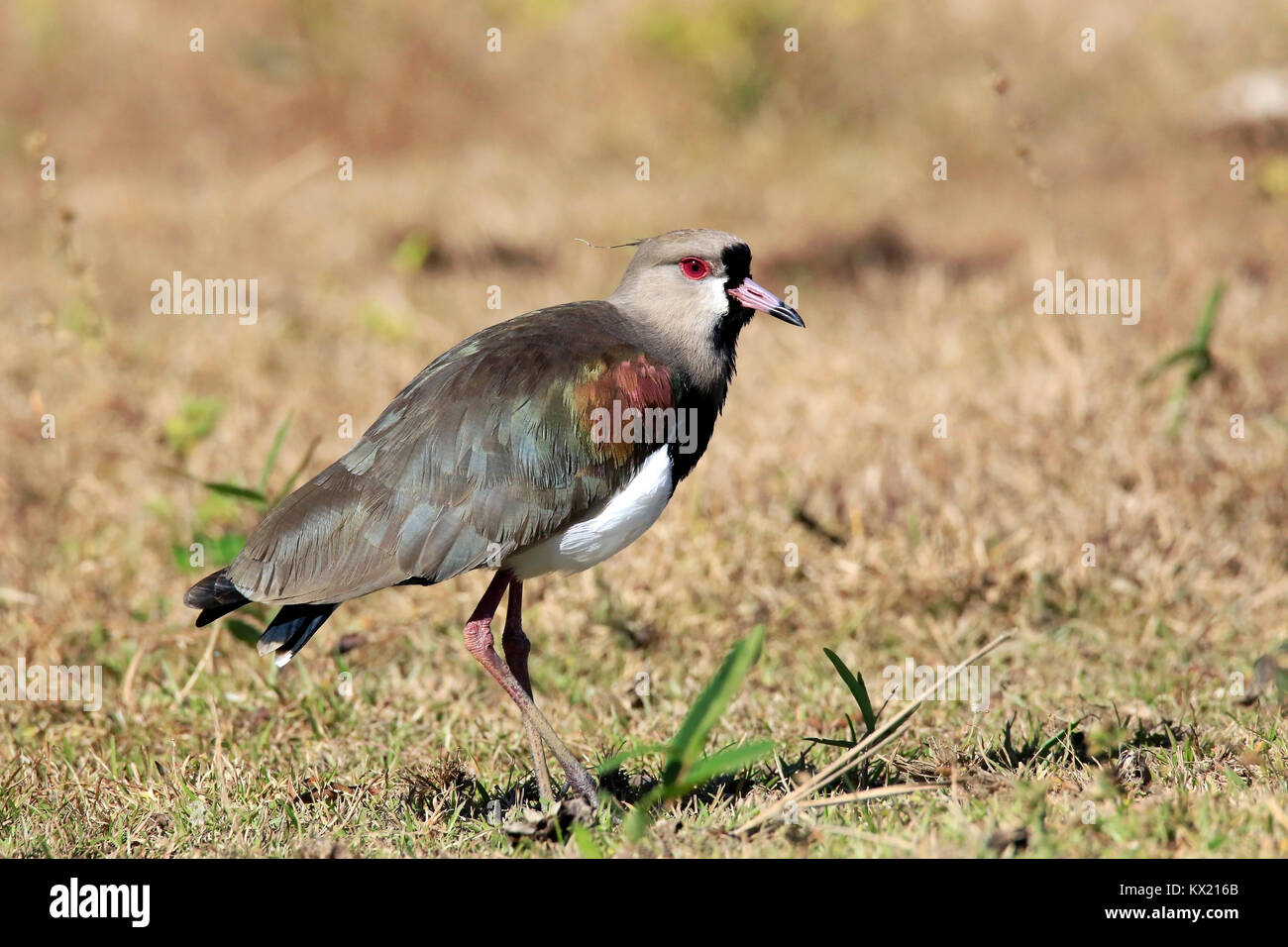 Southern Lapwing in Rio Claro. Pantanal, Brazil - Stock Image