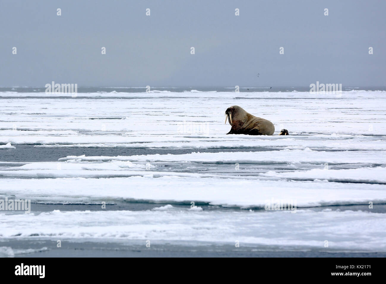 One Walrus on the Ice and one Looking up from a Hole in the Ice, outside Spitsbergen. Svalbard, Norway - Stock Image