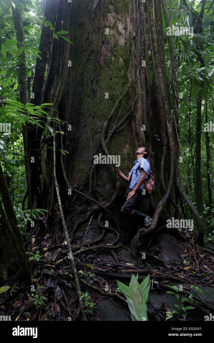 Hiker on trail Osa Peninsula Costa Rica mahogany tree in primary rain forest. Tropical Jungle tree Stock Photo
