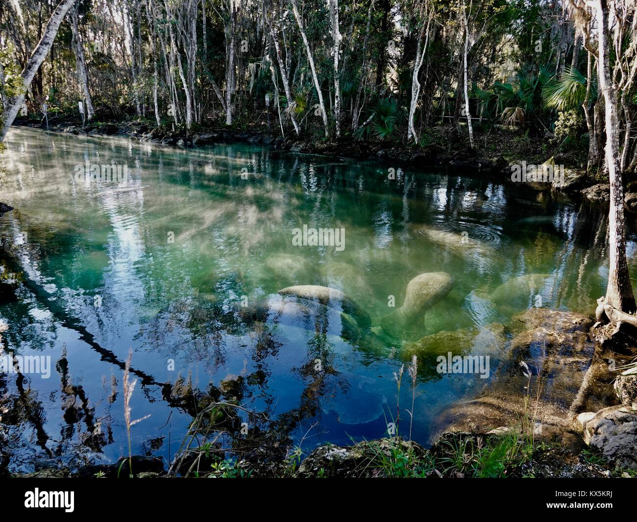 manatees-trichechus-manatus-gathered-in-three-sisters-springs-on-a-KX5KRJ.jpg