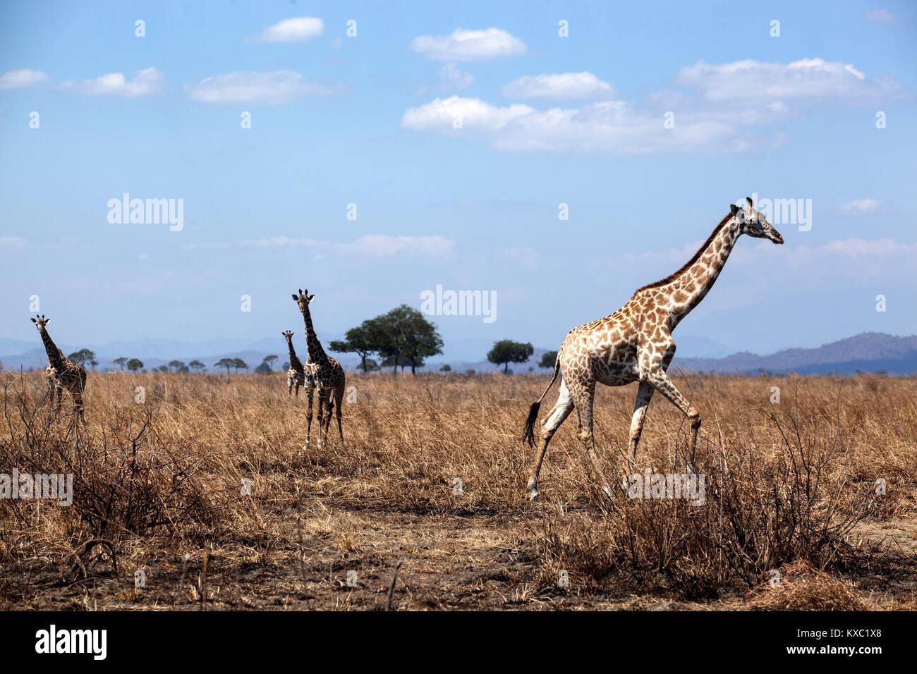 A pack of Giraffe in Mikumi National Park in Morogoro, Tanzania. - Stock Image