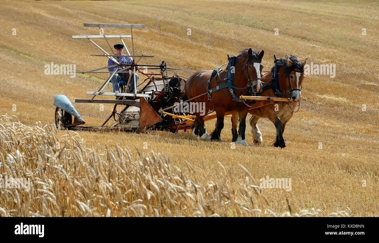 Nostalgic harvest with horses, Stubbarp farm, Slimminge, Scania, Sweden - Stock Image