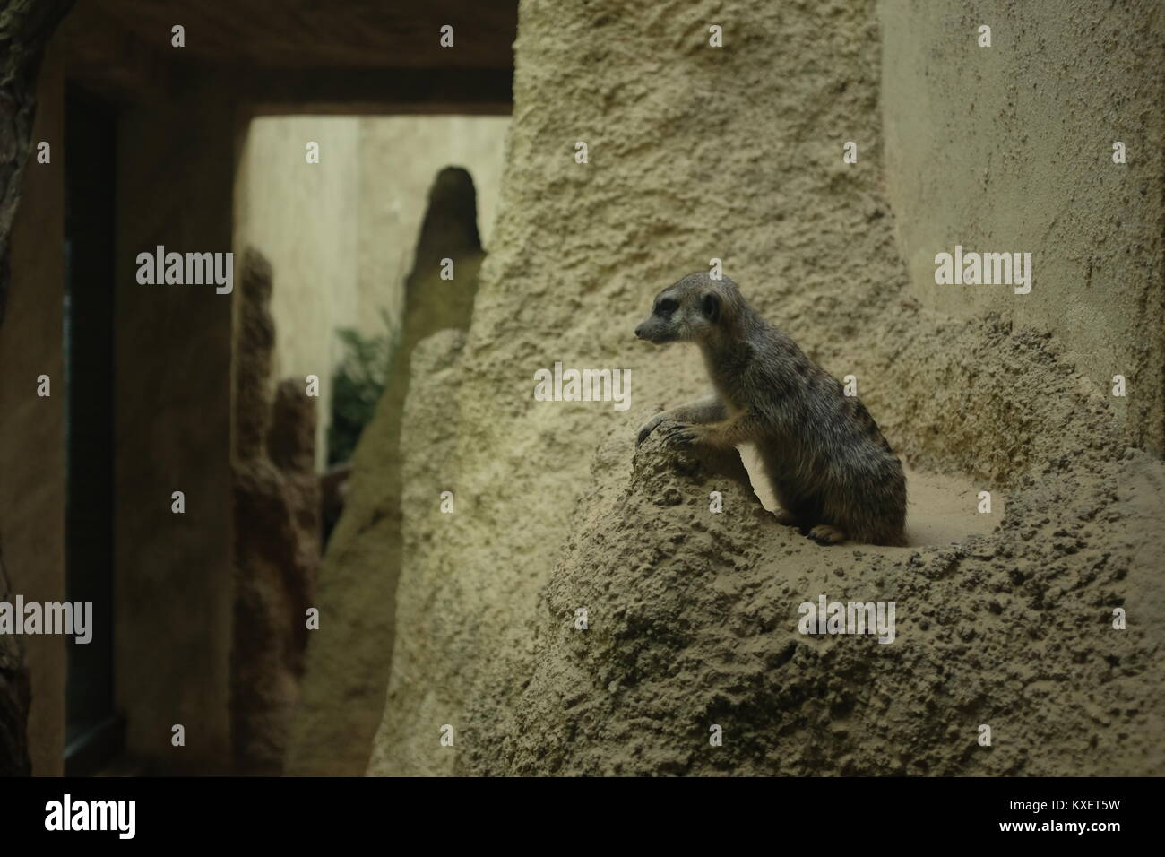 Meerkat Chilling at the Berlin Zoo - Stock Image