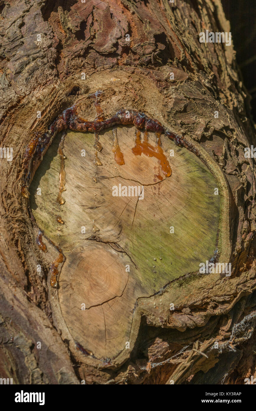 Sap oozing from an old cut branch of a species of fir / conifer tree. - Stock Image
