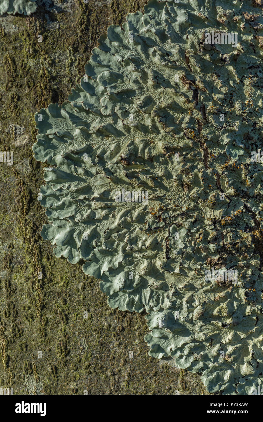 Macro-photo pf a lichen species on a tree trunk. - Stock Image