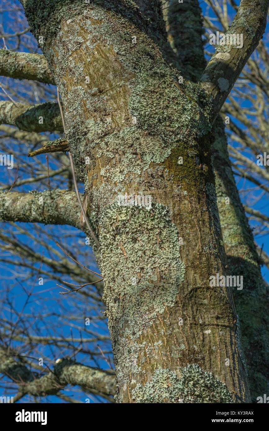 Lichen covered tree trunk in bright winter sunshine. - Stock Image