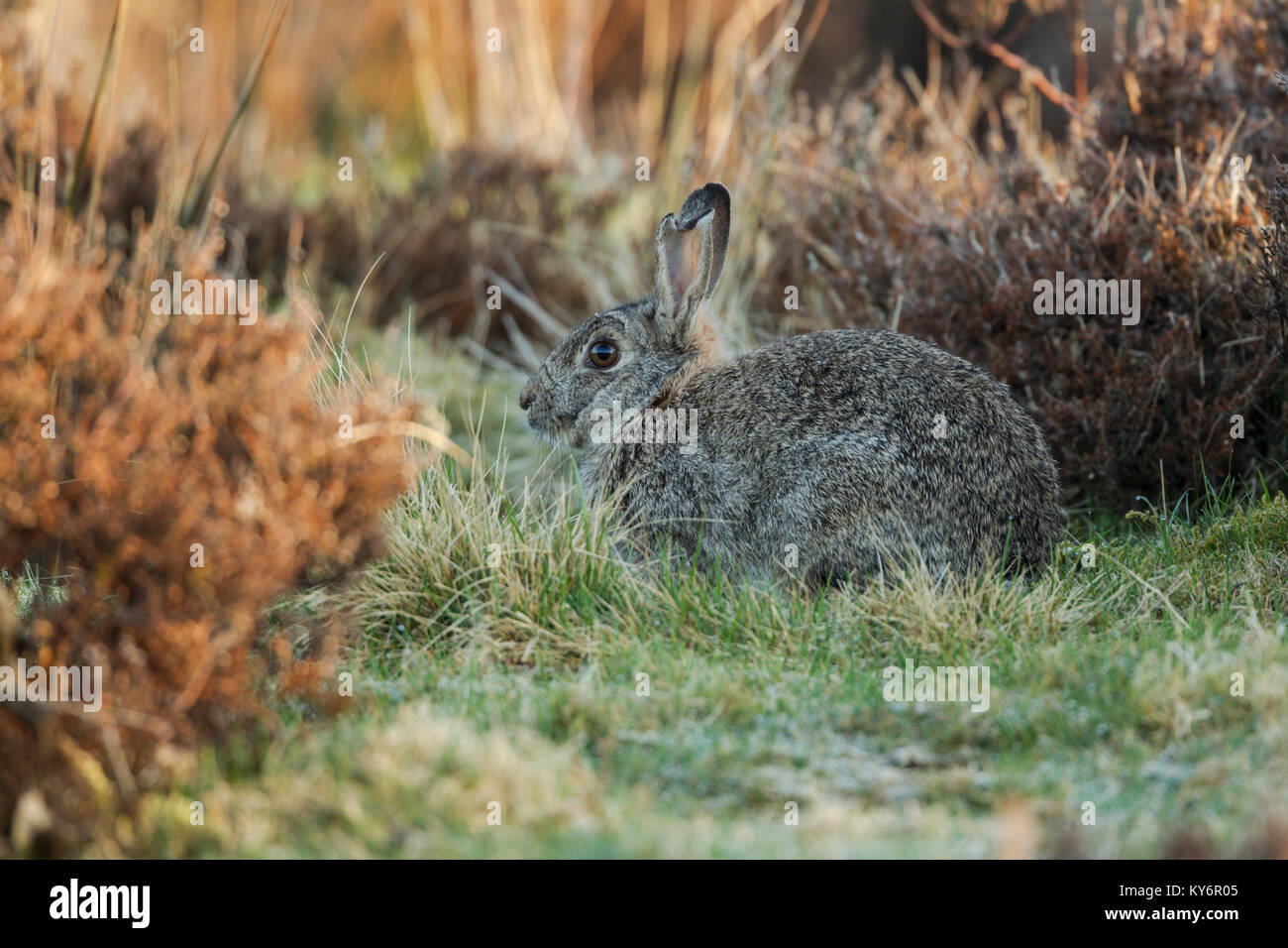 Wild rabbit, Latin name Oryctolagus cuniculus, a mature rabbit with damaged ears and matted fur sitting between - Stock Image