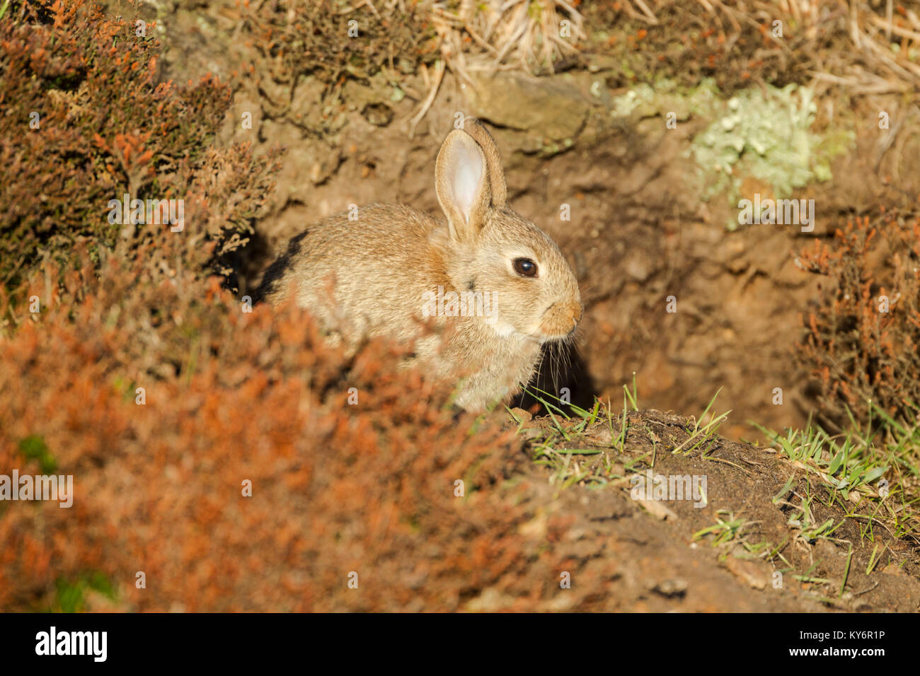 Wild rabbit, Latin name Oryctolagus cuniculus, sitting in bright light at the entrance to its warren - Stock Image