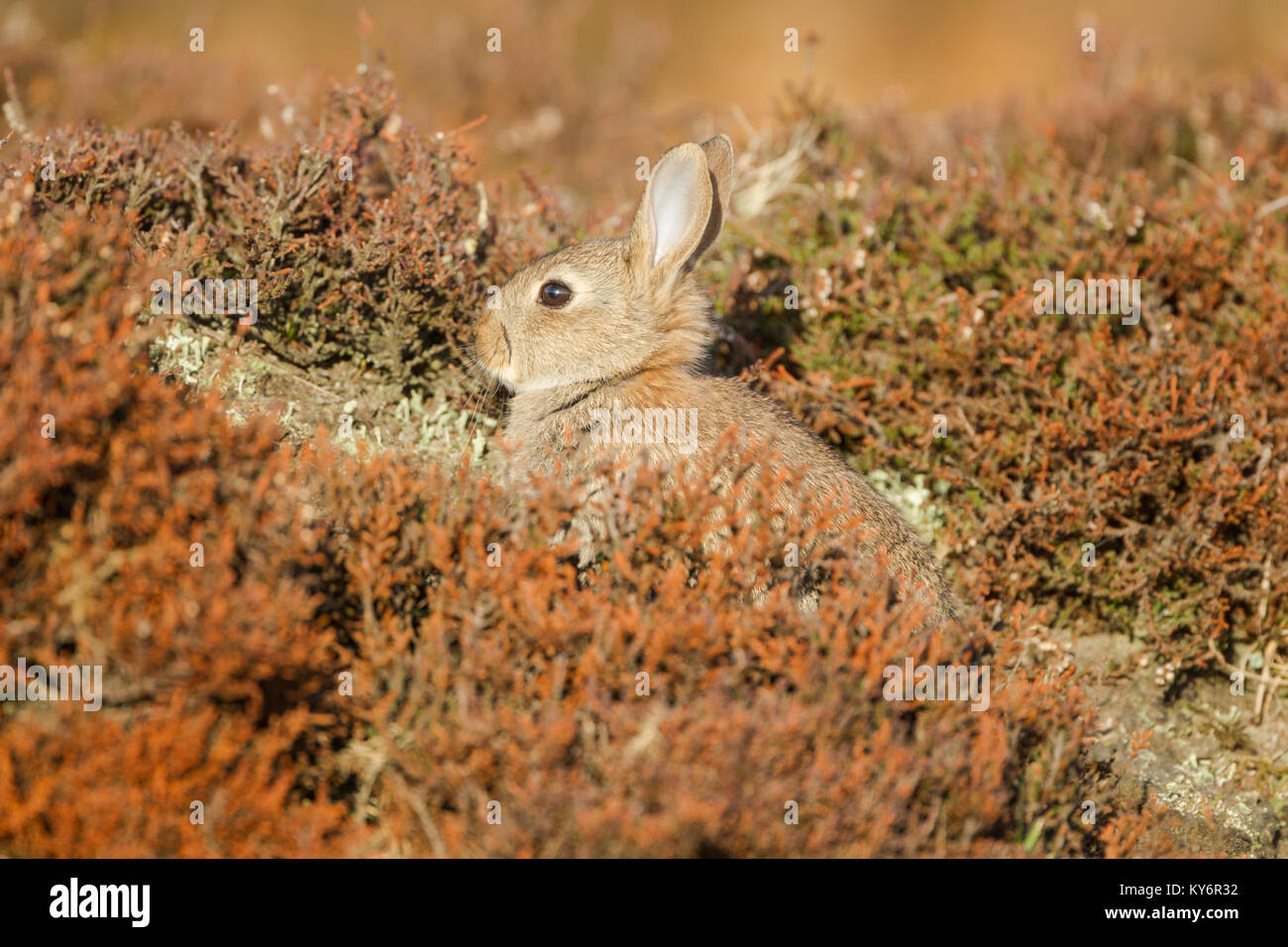 Young wild rabbit, Latin name Oryctolagus cuniculus, sitting among heather on moorland - Stock Image