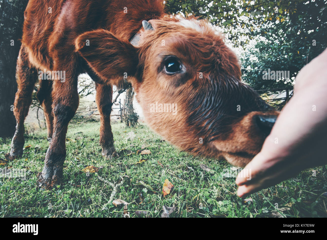 Cow calf eating from man hand funny Farm Animal at alpine green valley summer pasture - Stock Image