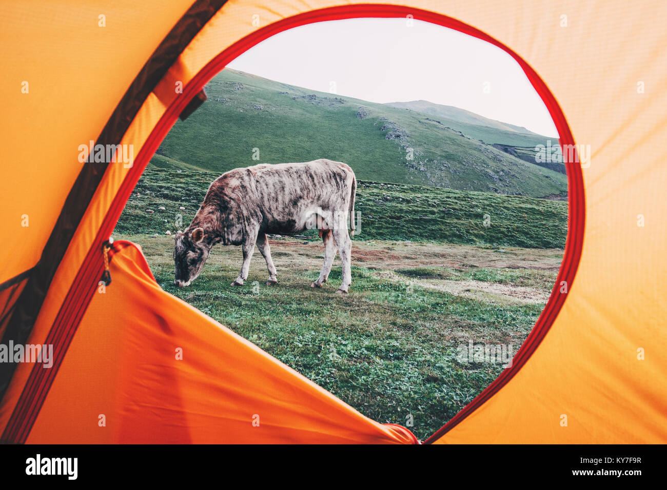 View from tent camping entrance grazing Cow outdoor Travel Lifestyle concept adventure vacations outdoor - Stock Image