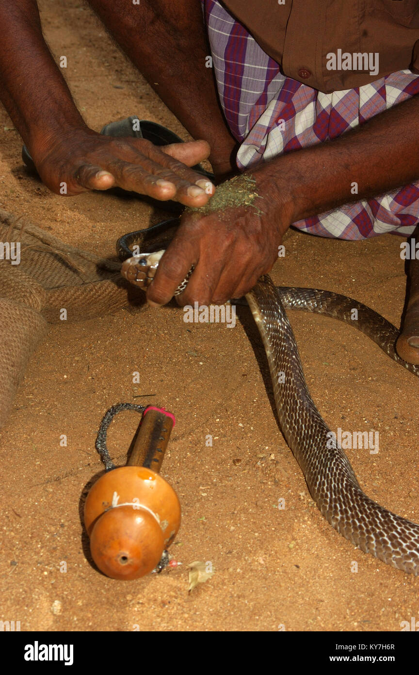 Snake catcher removes Indian cobra venom from the back of his hand with herbs, Tamil Nadu, South India - Stock Image