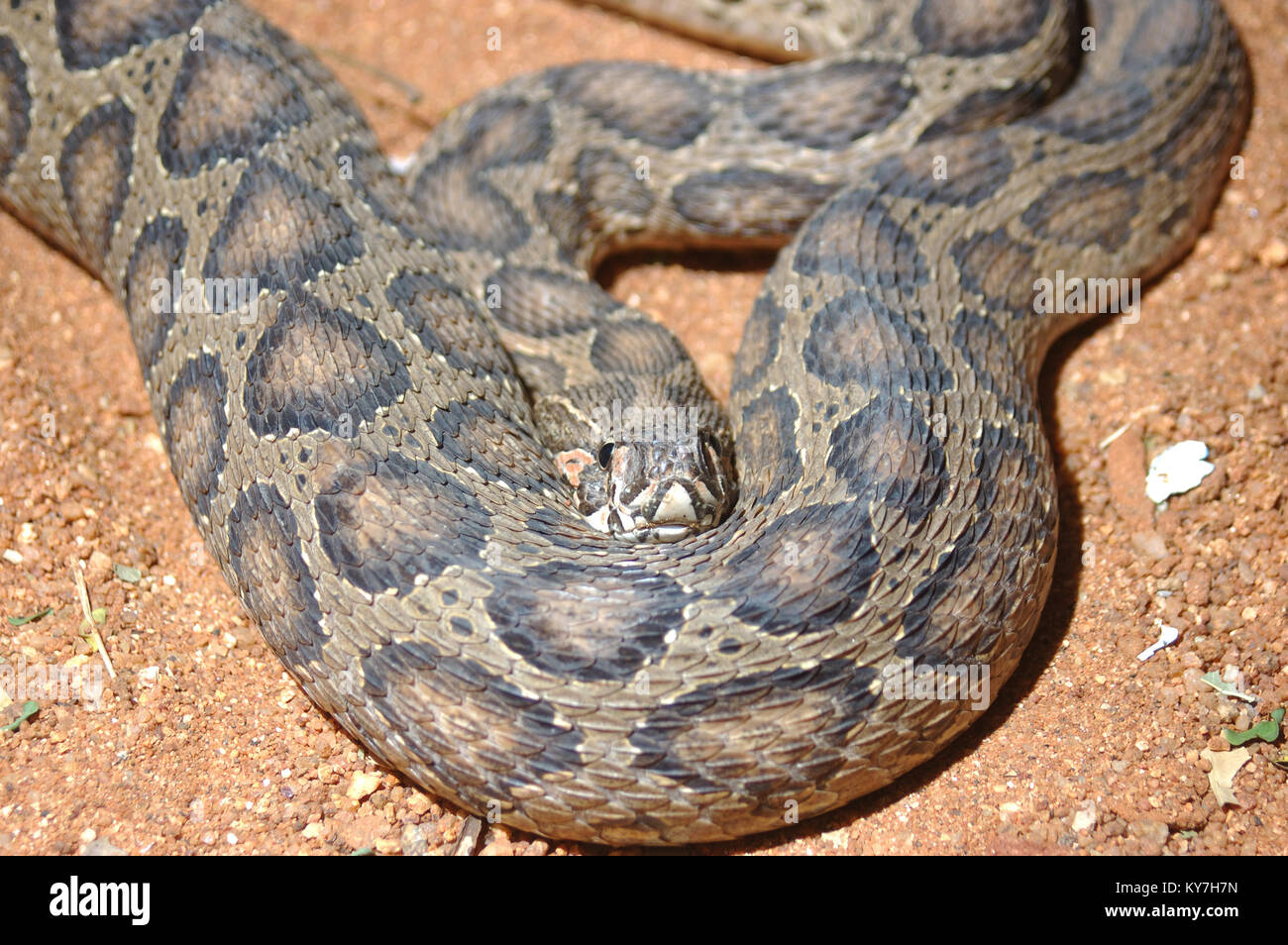 Adult Russell's Viper, Daboia russelii, Tamil Nadu, South India - Stock Image