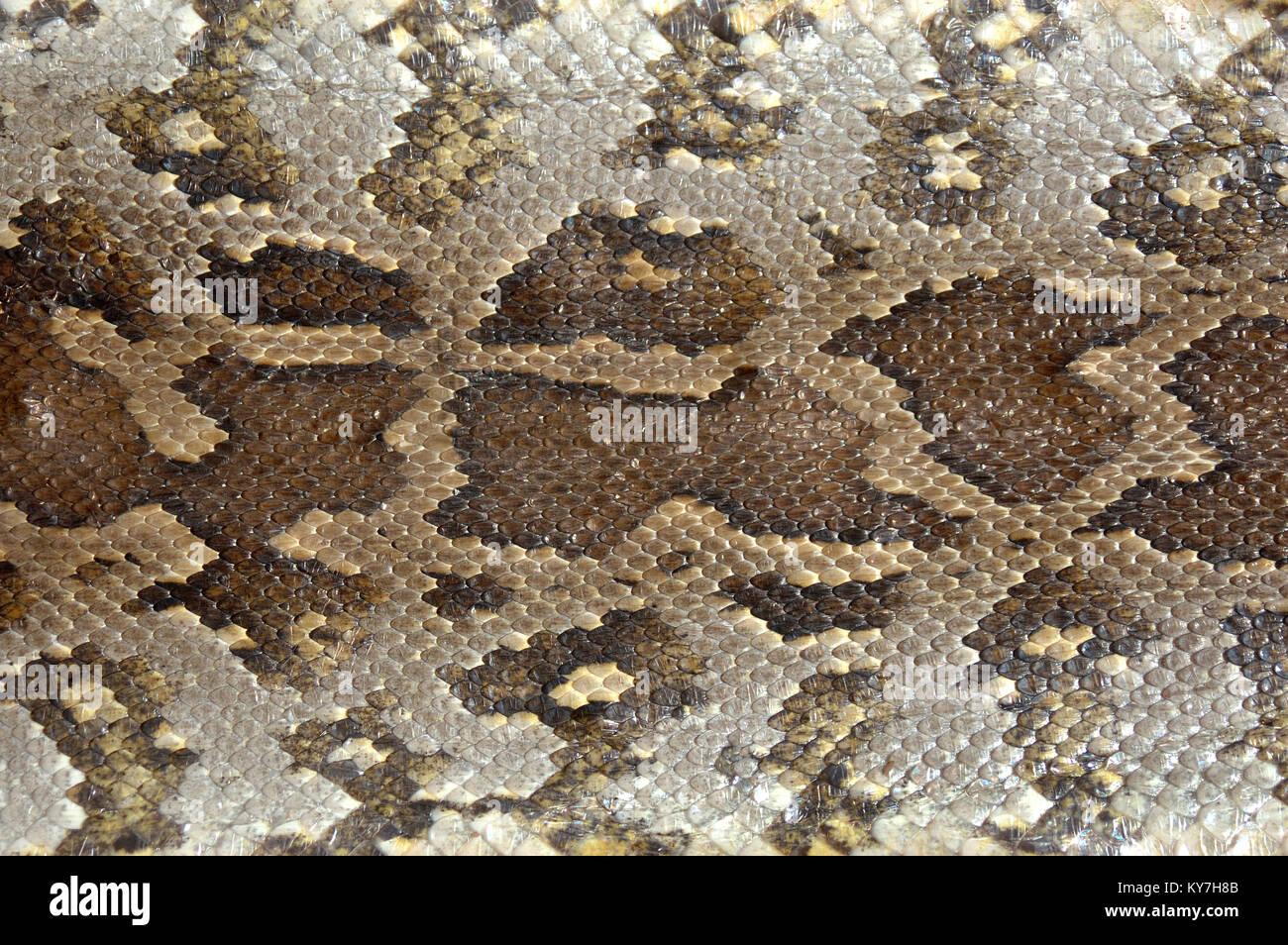 Camouflage pattern on python skin - Stock Image