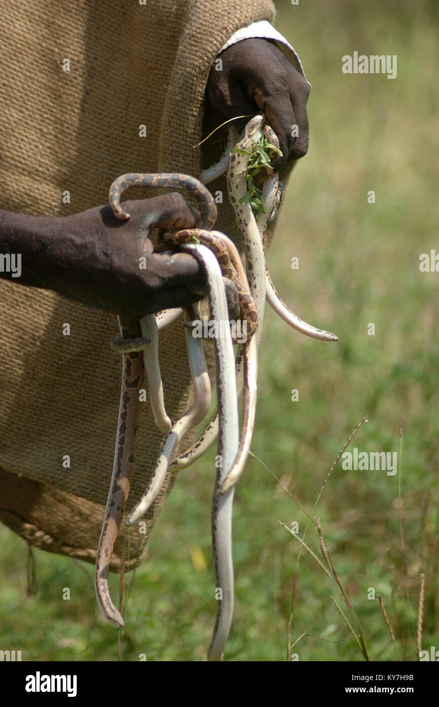 Snake catcher with a handful of young vipers, Tamil Nadu, South India - Stock Image
