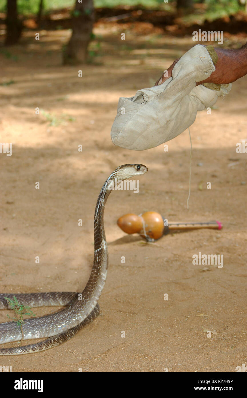 Snake catcher uses his bag of herbs used to pacify an Indian cobra, Naja naja, Tamil Nadu, South India. The bag - Stock Image