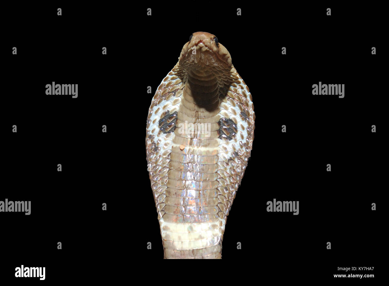 Indian Cobra, Naja naja, with flared hood against black background,Tamil Nadu, South India - Stock Image
