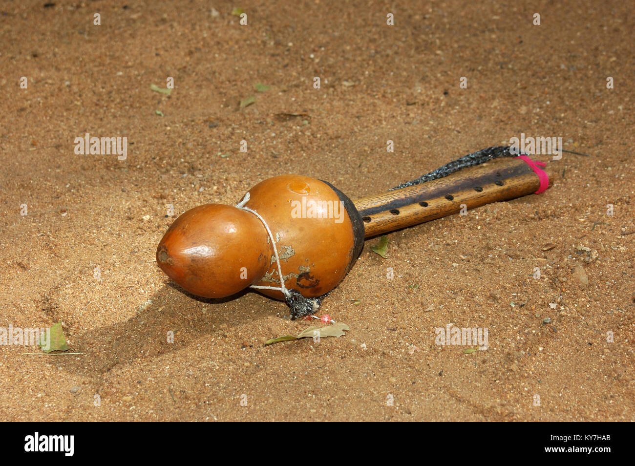 Drops of Indian cobra venom on snake catcher's whistle, Tamil Nadu, South India - Stock Image