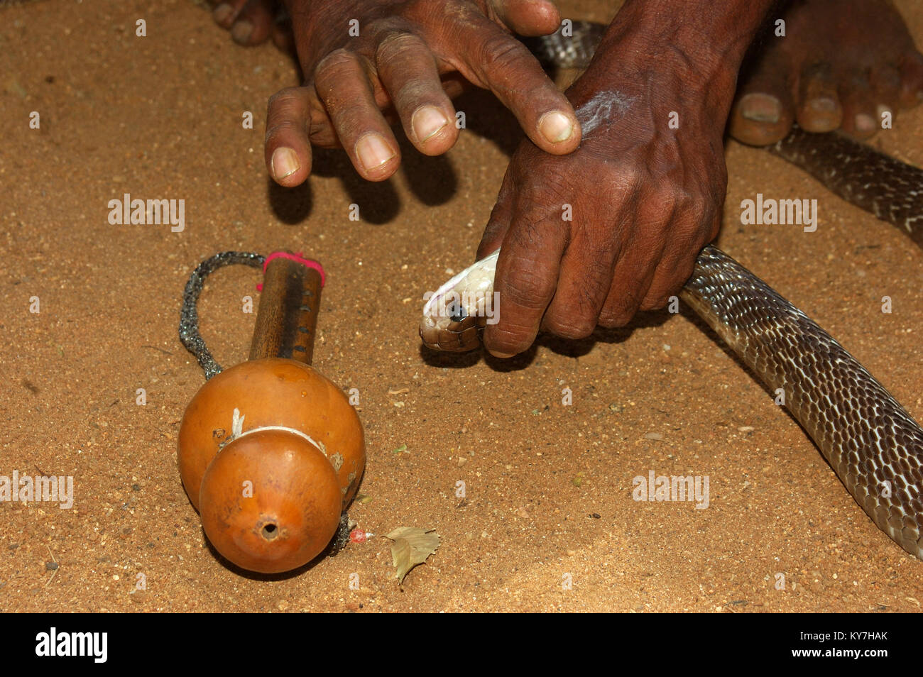 Snake catcher rubs a few drops of Indian cobra venom on the back of his hand till the venom froths up, Tamil Nadu, - Stock Image