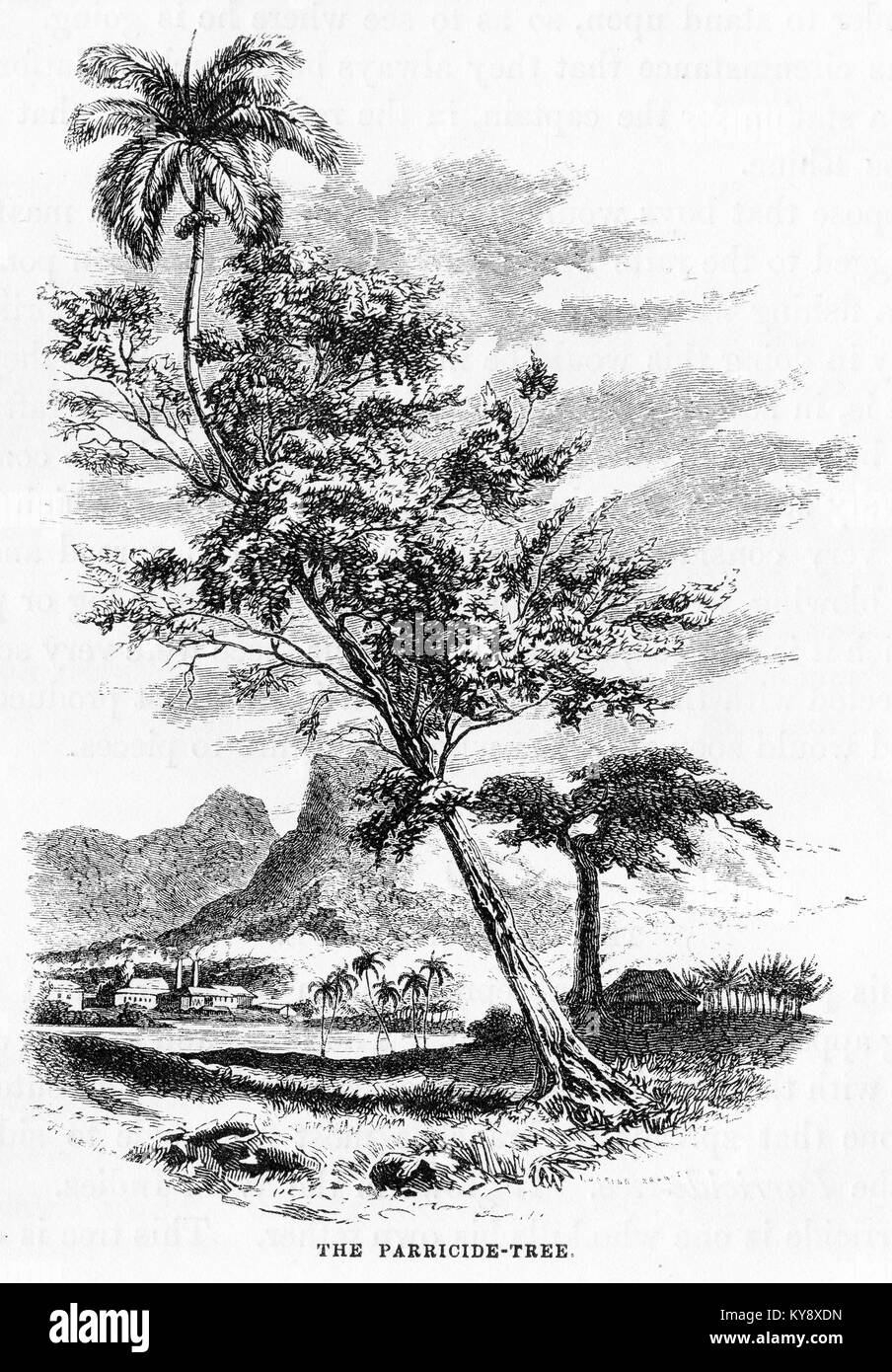 Engraving of a species of parasitic tree growing on a coconut palm in the tropics. From an original engraving in - Stock Image