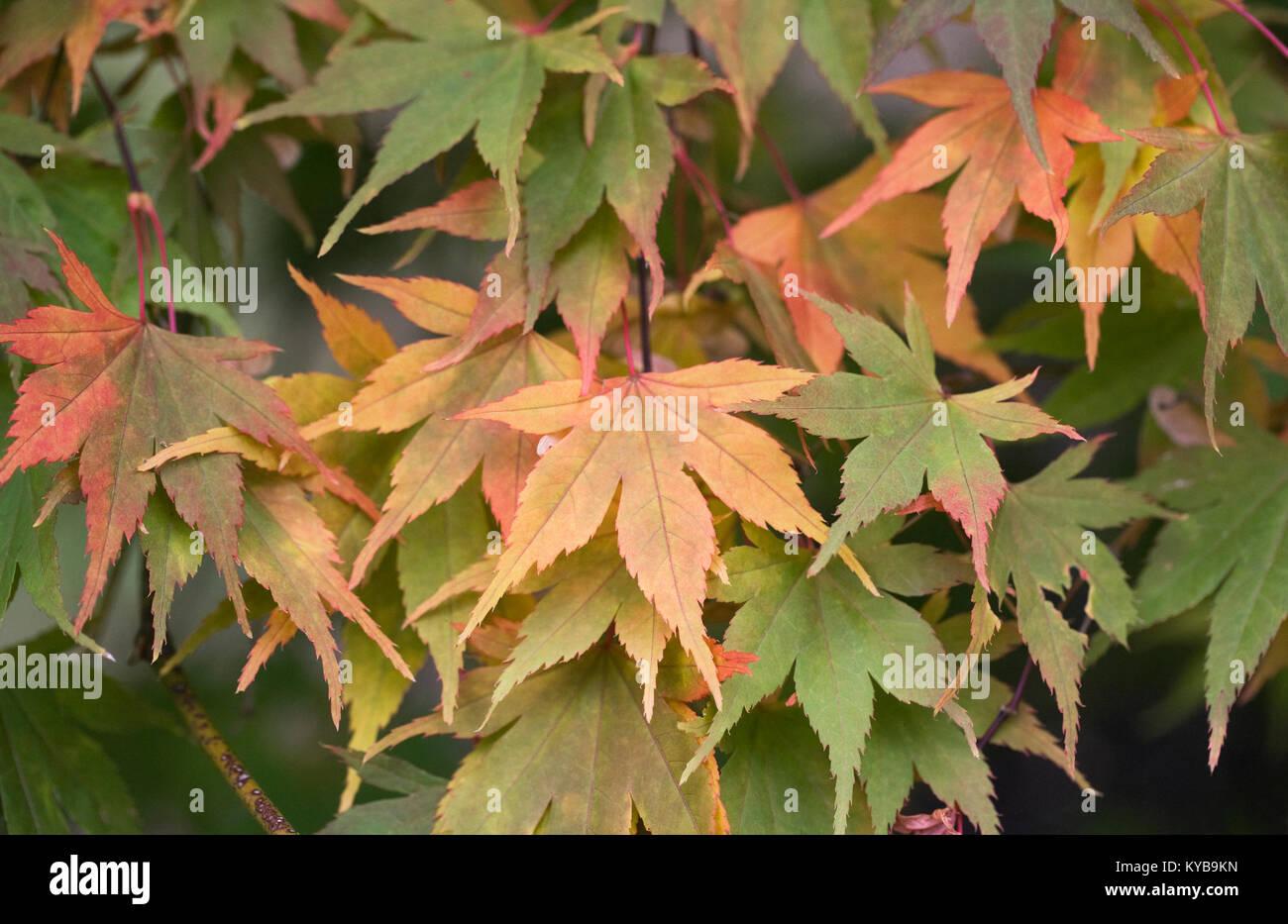Acer Palmatum Killarney Leaves In Autumn Stock Photo 171738105