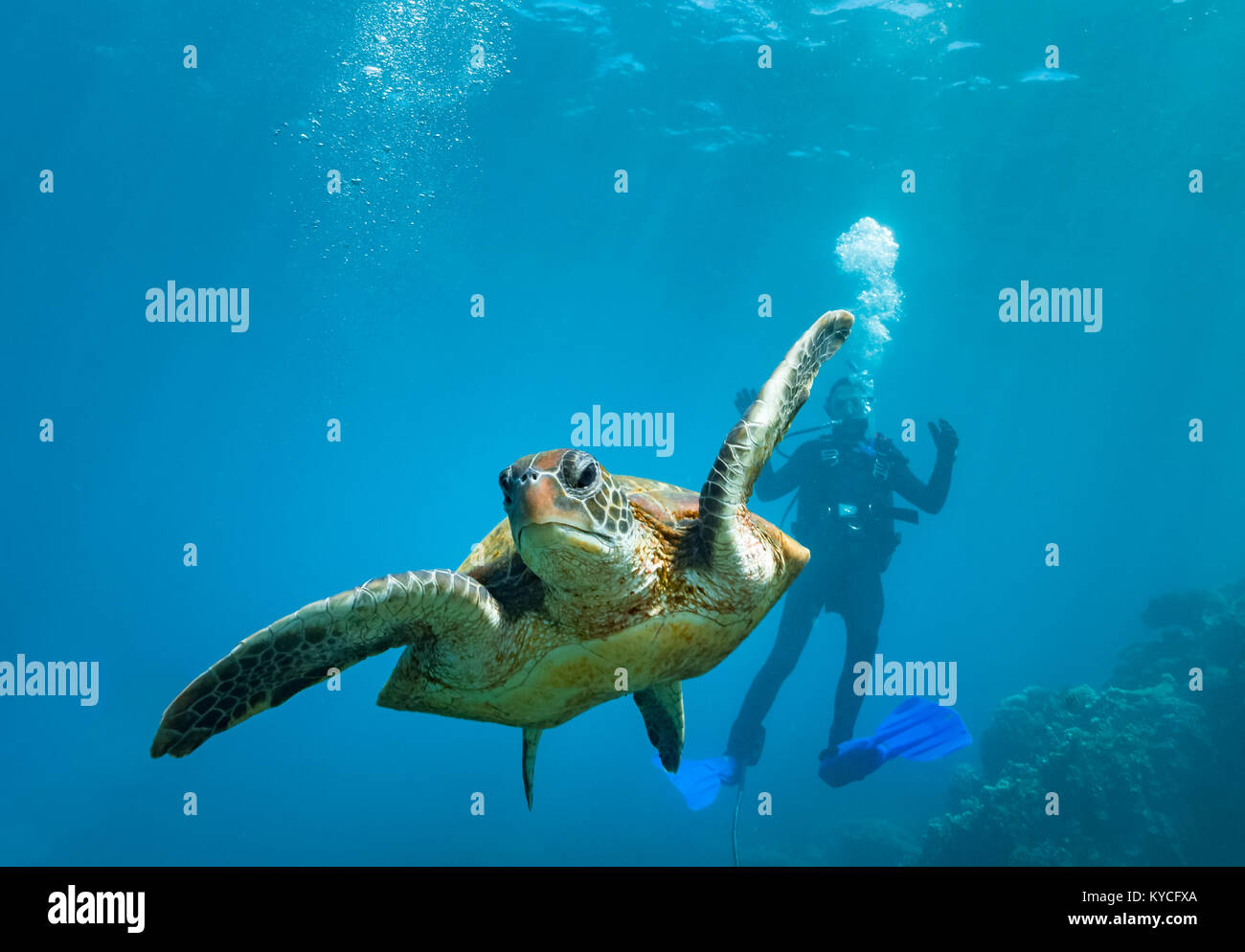 green turtle and diver coral bay western australia Stock Photo